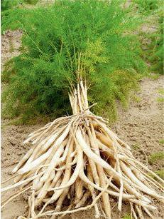 what is shatavari - Shatavari roots