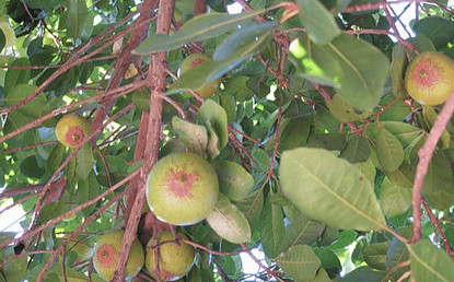 what is lucuma - tree family of Sapotaceae